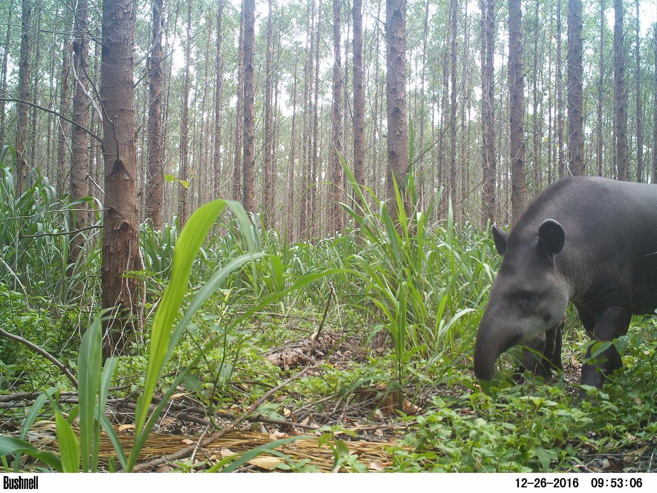 Anta-Tapirus Terrestris - (Foto: Daniel Henrique Homem/Suzano)